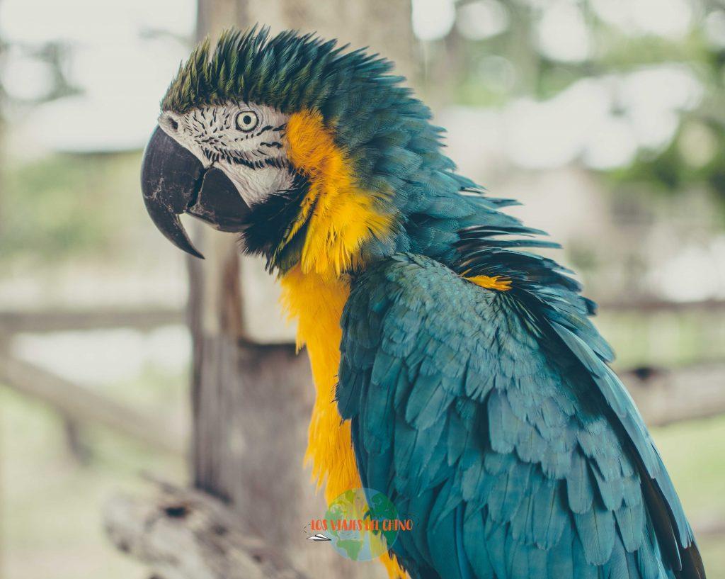 Papagayo de la selva peruana